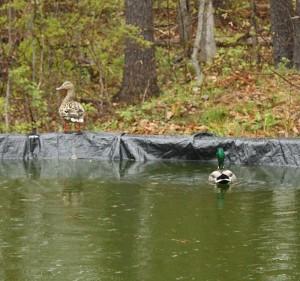 Duckies in za pool