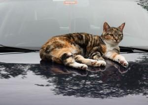 Beazebo lounging on the car